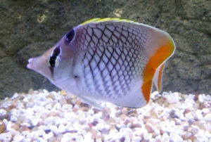Chaetodon xanthurus - Pearlscale Butterfly
