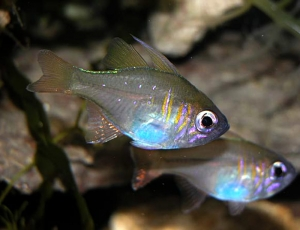 Apogon leptacanthus- Bluestreak Cardinalfish M