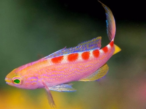 Pseudanthias flavoguttatus - Red Saddled Anthias Samiec