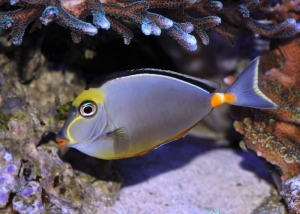 Naso lituratus - Orange Spine Unicornfish