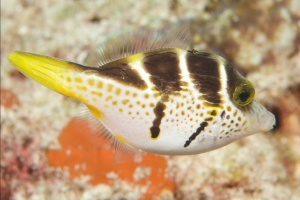 Paraluteres prionurus - Blacksaddle filefish