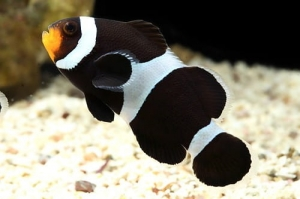 "Amphiphrion ocellaris ""Black"" - Ocellaris Clownfish ""Black"""