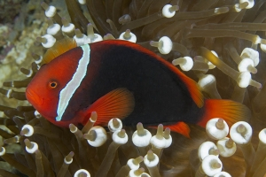 Amphiprion frenatus - Tomato Clownfish